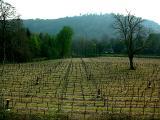 sap rising at the vineyard