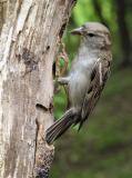 House Sparrow female 1