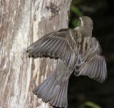 House Sparrow female 2