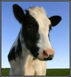 Cows make me laff!