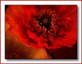 Poppy - photoshop playing