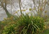 agapanthus in the mist