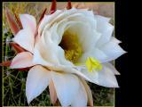 Trichocereus Bloom