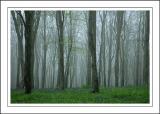 Bluebells in the mist, Nr. Powerstock, Dorset (1959)