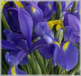 iris from mags