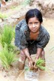 Planting Rice, Siruwari Balami Gau