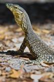 Goanna - Fraser Island