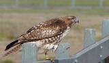 Hawk on a fence
