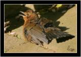 best baby blackbird.jpg