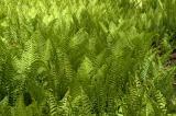 field of ferns 1