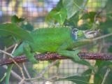 Male Jackson chameleon