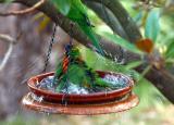 Rainbow lorikeets having a bath