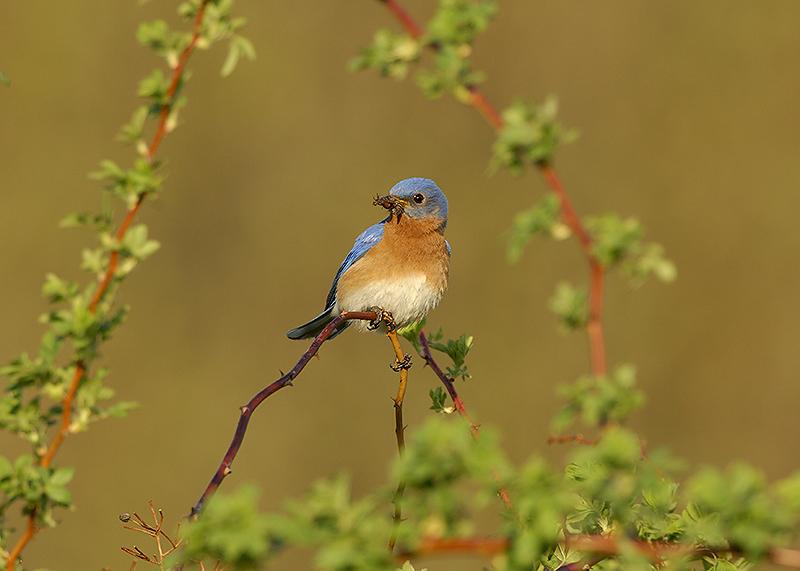 Eastern  Bluebird North Andover, Massachusetts