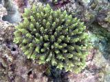 Corail madrépore - Acropora sp