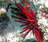 Oursin crayon - Heterocentrotus mammillatus
