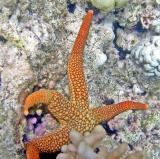 Etoile de mer- Nardoa Novaecaledoniae - Baie de Tadine (Ile de Maré)