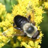 Eristalis sp. (male)