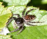 Jumping Spiders - Genus Paraphidippus