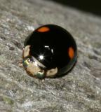Hyperaspis proba (male)