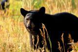Bear 240