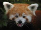 Photogrif - Red Panda
