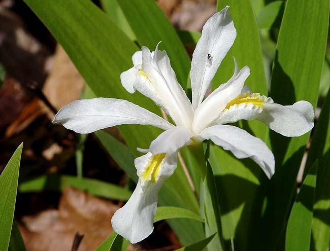 White Crested Dwarf Iris