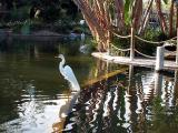Snowy Egret  - San Diego Wild Animal Park in Escondido