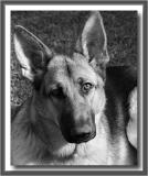 Bella (my cousin's dog) in bw