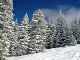 Snow Flocked Trees on Mountain DSC07486.jpg