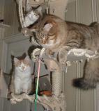 Four Siberian  kittens enjoy their life - Neljä siperiankissanpentua  hauskanpidossa