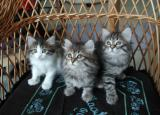 Three kittens - real color, no flash used.