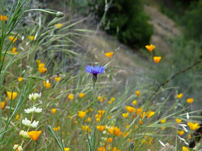 Wildflower - Bachelors Button