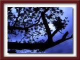 jacaranda_trees