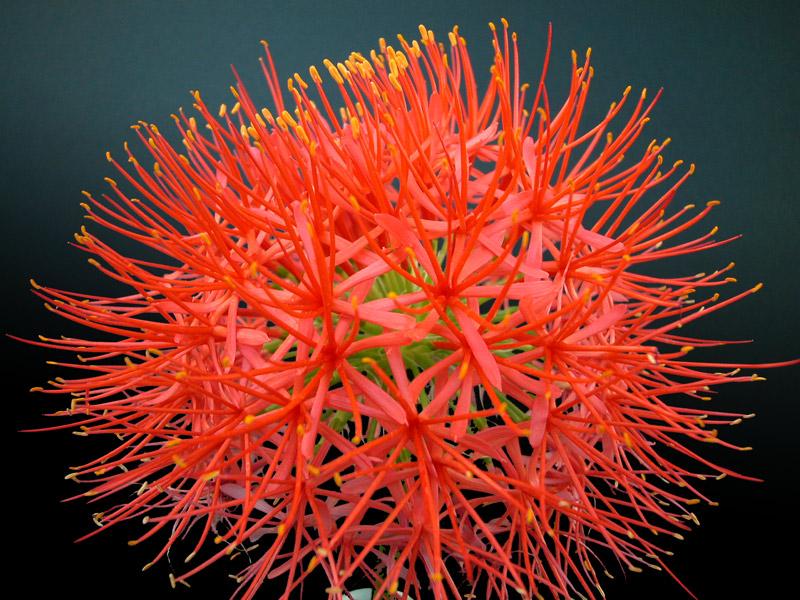 Scadoxus Multiflorus Ssp Katherinae