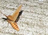 Banded Woolly Bear Moth ( Pyrrharctia isabella)