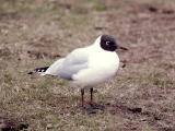 042 Black-Headed Gull.jpg