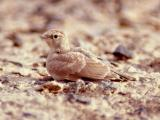 044 Bar-Tailed Desert Lark.jpg