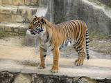 Tiger, San Antonio Zoo