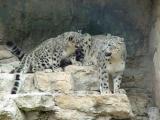 Snow Leopards, San Antonio Zoo