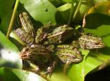 Frog party in a pond