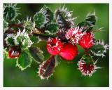 Red - like flowers