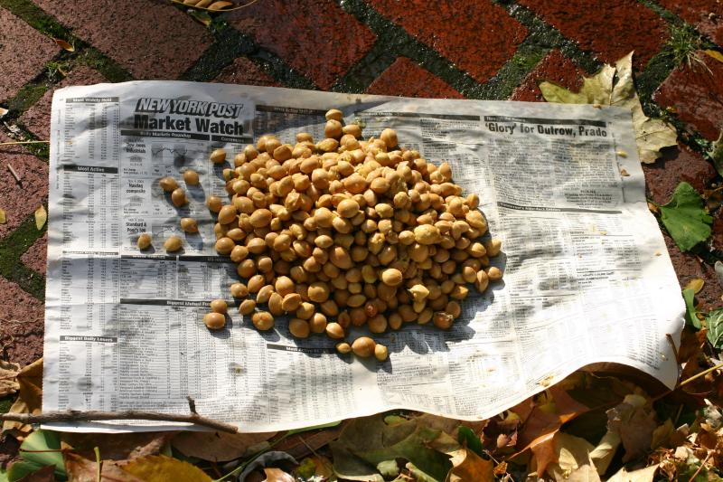 Ginkgo Nut Harvest