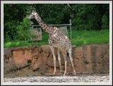 Giraffe - DSCF0084 copy.jpg