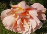 Blowsy Rose