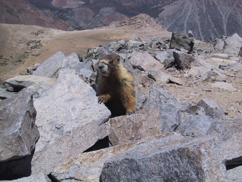 Mount Dana: The summit marmot.