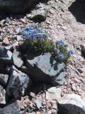 Mount Dana: Rare high altitude flowers.