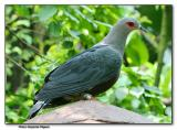 Pinon Imperial Pigeon