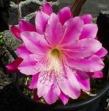 Red Cereus