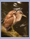 Juvi Night Heron after bath