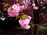 Brooklyn Cherry Blossoms